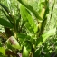 Mathieu MENAND - Hesperis matronalis subsp. matronalis
