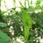 Mathieu MENAND - Lunaria rediviva L.