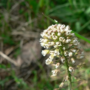 Noccaea caerulescens subsp. virens (Jord.) Kerguélen (Tabouret verdoyant)