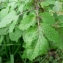 Mathieu MENAND - Brassica nigra (L.) W.D.J.Koch
