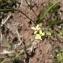 Mathieu MENAND - Camelina sativa subsp. microcarpa (Andrz. ex DC.) Bonnier [1912]