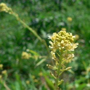 Myagrum perfoliatum L. [1753] (Myagre perfolié)