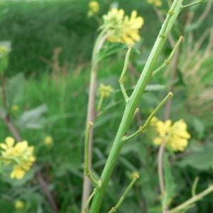 Photographie n°20311 du taxon Sinapis arvensis L.