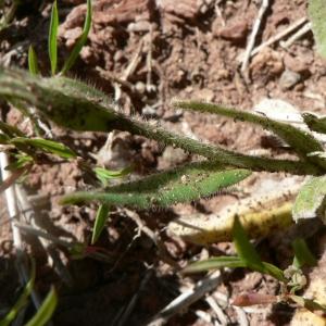 - Camelina sativa subsp. microcarpa (Andrz. ex DC.) Bonnier [1912]