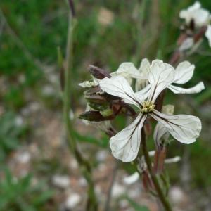 Photographie n°20328 du taxon Eruca sativa Mill.