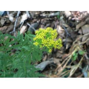 Descurainia tanacetifolia subsp. suffruticosa (H.J.Coste & Soulié) Jauzein (Vélar)