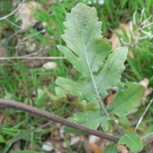 Photographie n°20346 du taxon Eruca sativa Mill.
