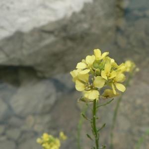 - Rapistrum rugosum subsp. orientale (L.) Arcang. [1882]
