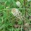 Mathieu MENAND - Lepidium heterophyllum Benth.