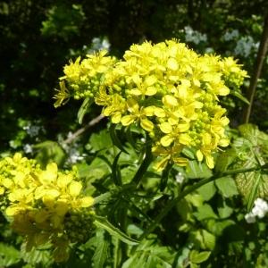Sisymbrium austriacum subsp. chrysanthum (Jord.) Rouy & Foucaud (Vélar à fleurs dorées)
