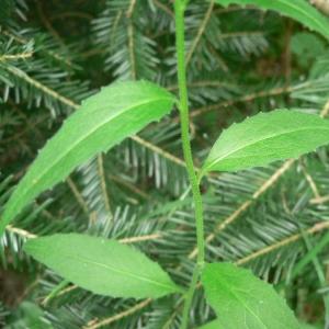 - Hesperis matronalis subsp. nivea (Baumg.) E.P.Perrier [1917]