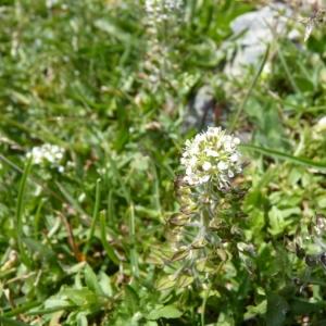 Photographie n°20389 du taxon Lepidium heterophyllum Benth.
