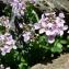 Mathieu MENAND - Noccaea rotundifolia (L.) Moench