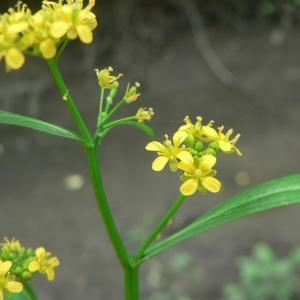 Photographie n°20469 du taxon Rorippa amphibia (L.) Besser