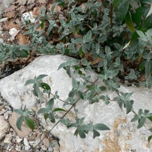 Photographie n°20476 du taxon Buddleja davidii Franch.