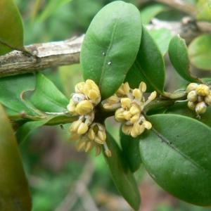 Photographie n°20481 du taxon Buxus sempervirens L.