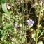 Mathieu MENAND - Wahlenbergia hederacea (L.) Rchb.