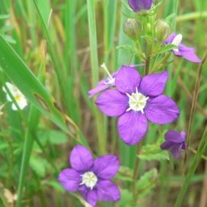 Photographie n°20502 du taxon Legousia speculum-veneris (L.) Chaix