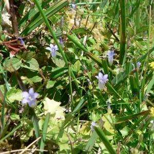 Photographie n°20535 du taxon Wahlenbergia hederacea (L.) Rchb.