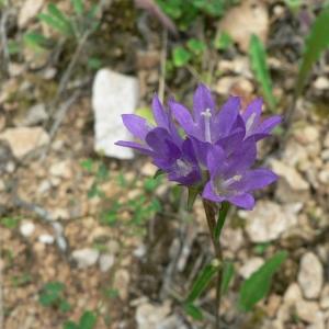 Photographie n°20537 du taxon Campanula glomerata L.