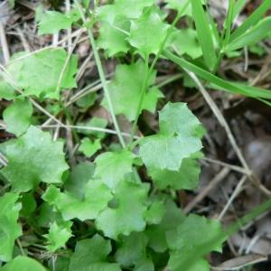 Photographie n°20545 du taxon Wahlenbergia hederacea (L.) Rchb.