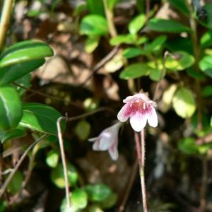Linnaea borealis L. (Linnée boréale)