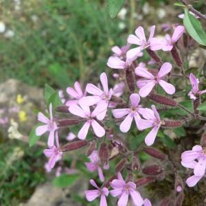 Photographie n°20630 du taxon Saponaria ocymoides L.