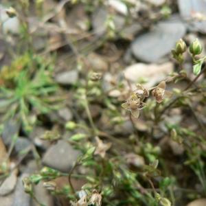 Photographie n°20637 du taxon Sagina apetala Ard.