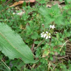 Photographie n°20648 du taxon Cerastium fontanum subsp. vulgare (Hartm.) Greuter & Burdet [1982]