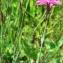 Mathieu MENAND - Dianthus deltoides L. [1753]