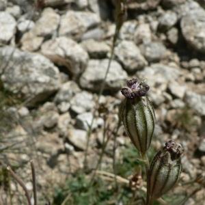 Photographie n°20674 du taxon Silene ciliata Pourr. [1788]