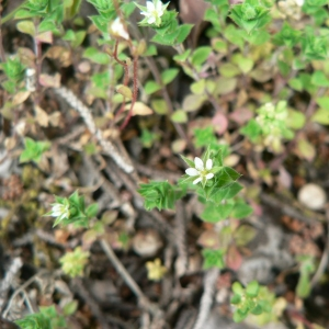 Photographie n°20678 du taxon Arenaria serpyllifolia subsp. serpyllifolia