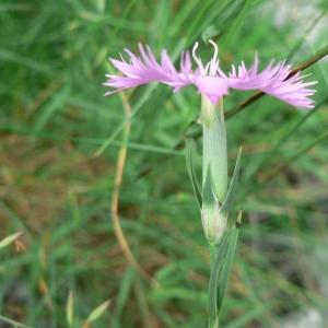 Photographie n°20681 du taxon Dianthus hyssopifolius subsp. hyssopifolius