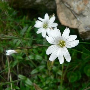 Cerastium arvense L. subsp. arvense (Céraiste des champs)