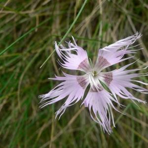 Photographie n°20759 du taxon Dianthus hyssopifolius subsp. hyssopifolius