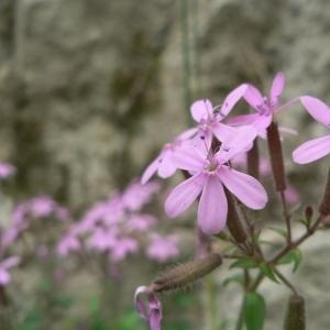 Photographie n°20767 du taxon Saponaria ocymoides L.
