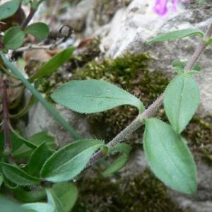 Photographie n°20768 du taxon Saponaria ocymoides L.