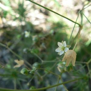 Spergula morisonii Boreau (Spargoute de printemps)