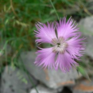 Photographie n°20774 du taxon Dianthus hyssopifolius subsp. hyssopifolius