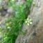 Mathieu MENAND - Sagina saginoides subsp. pyrenaica (Rouy) Font Quer