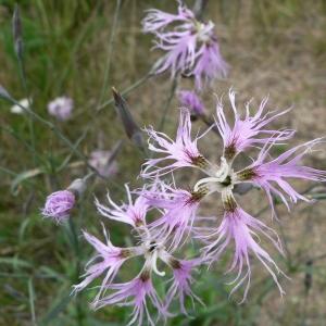 Photographie n°20783 du taxon Dianthus superbus L.