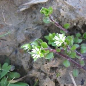 Photographie n°20798 du taxon Stellaria media (L.) Vill.