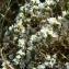Mathieu MENAND - Arenaria aggregata (L.) Loisel. [1827]