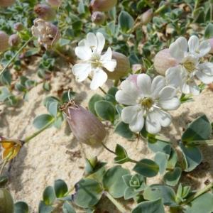Silene uniflora subsp. thorei (Dufour) Jalás (Silène de Thore)