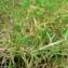 Mathieu MENAND - Arenaria grandiflora L. [1759]