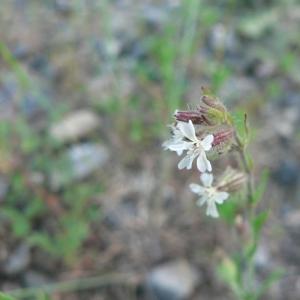 Photographie n°20830 du taxon Silene gallica L.