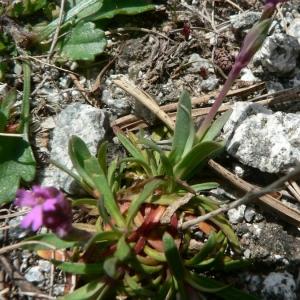 Photographie n°20835 du taxon Silene suecica (Lodd.) Greuter & Burdet