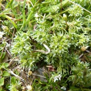 - Scleranthus uncinatus Schur [1850]