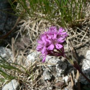 Photographie n°20854 du taxon Silene suecica (Lodd.) Greuter & Burdet