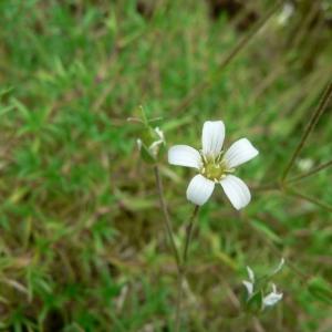 Arenaria grandiflora L. [1759] (Sabline à grandes fleurs)